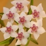 flores-cera